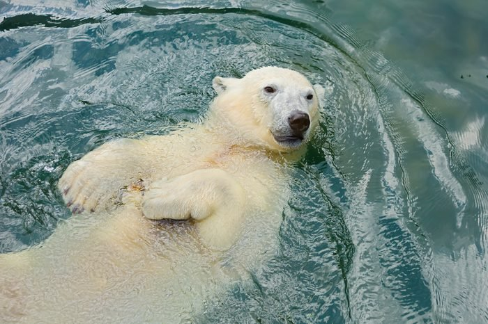 Polar bear swims in the water The polar bear is a typical inhabitant of the Arctic. The polar bear is the largest of all predator.