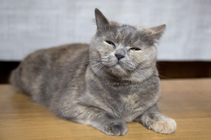The cat of breed of British Shorthair gray with brown speckled spots and yellow eyes sits on a brown wooden bench.