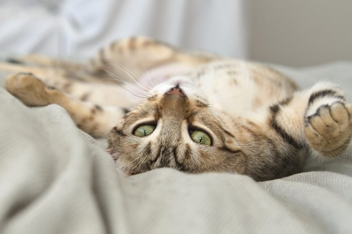 Gray Tabby Cat laying on Back