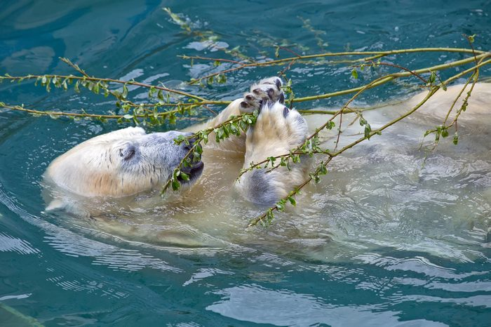 Polar bear in the water eating green branch with leaves
