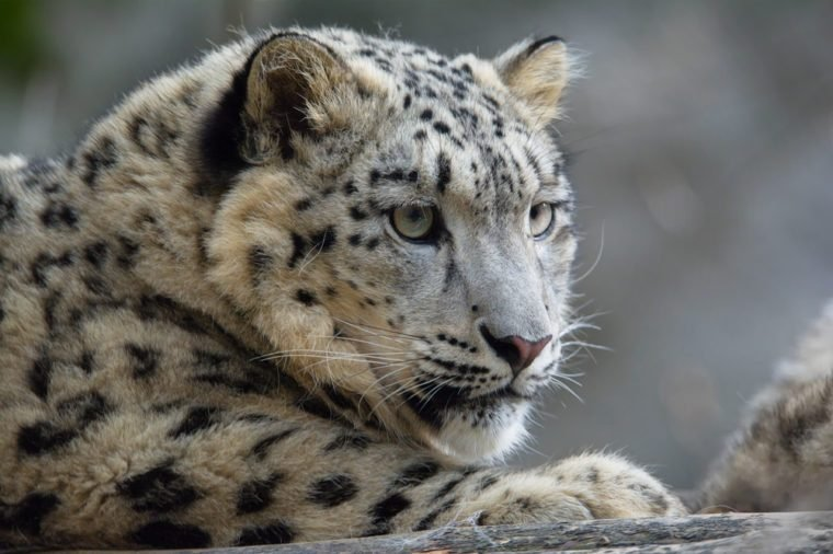 Snow leopard (Panthera uncia) lying portraits of young males