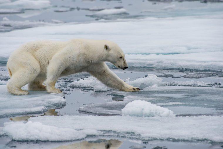 polar bear walking along ice floes in arctic norway sea