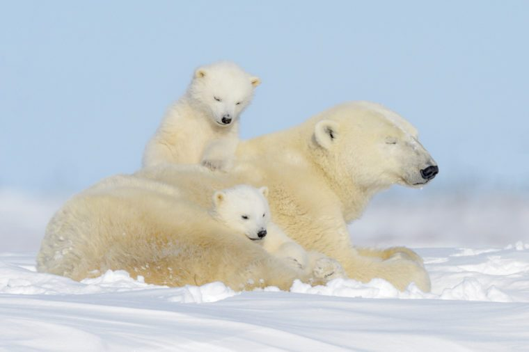 Polar bear mother (Ursus maritimus) playing with two cubs, Wapusk National Park, Manitoba, Canada