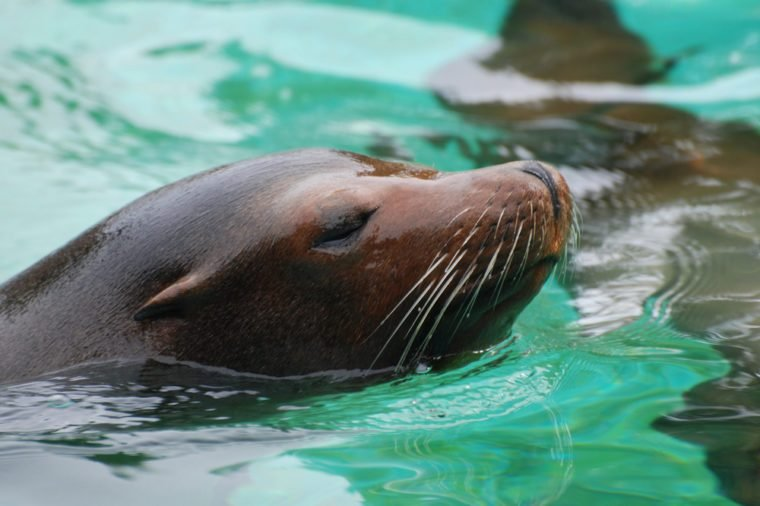 Sea lion swimming along in the water with his nose out of the water.
