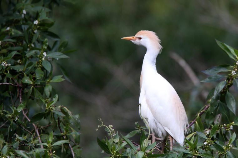 Cattle Egret (Bulbulcus ibis) adult perched in a tree, Andalucia, Spain.