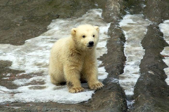 White bear cub