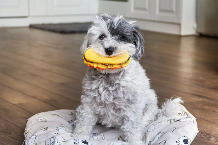 funny dog with rubber hamburger toy in the mouth