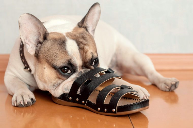 bulldog chewing on slippers
