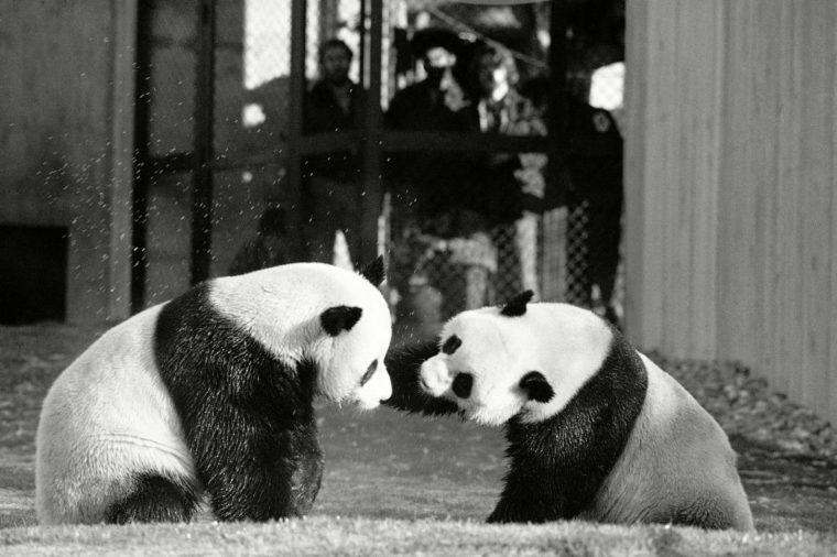 Panda Anniversary, Washington, USA