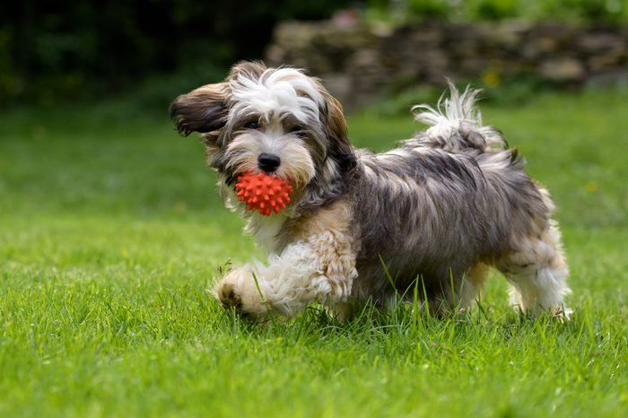 Playful havanese puppy dog walking with a red ball in his mouth in the grass and looking at camera