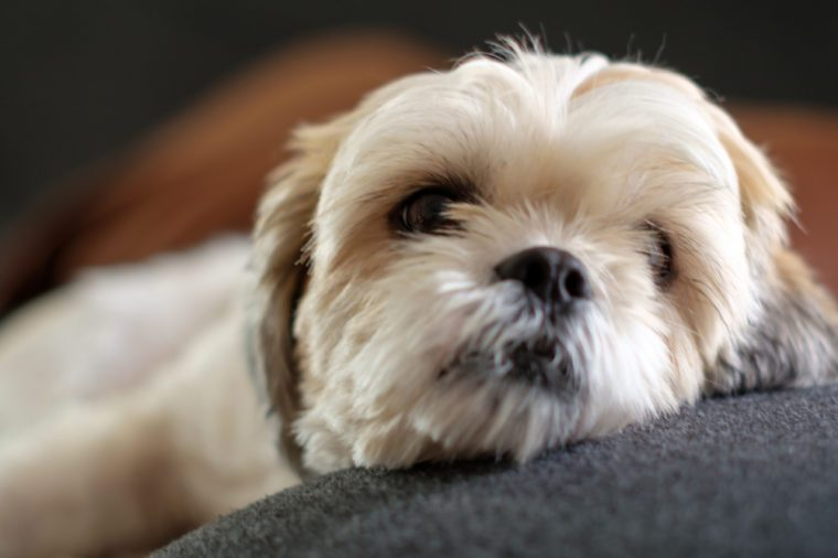 Close up White shih tzu laying on the floor