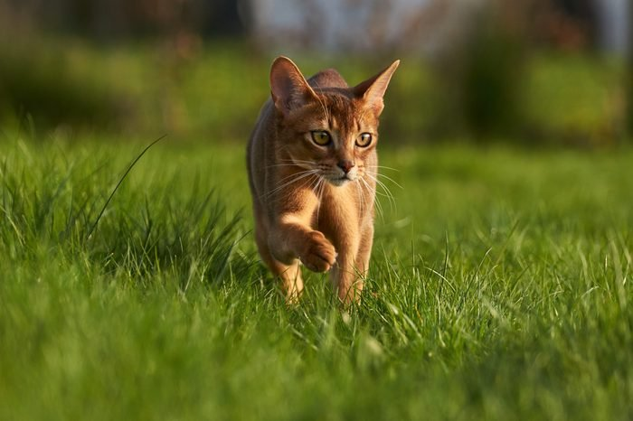 Abyssinian cat on lawn in the garden