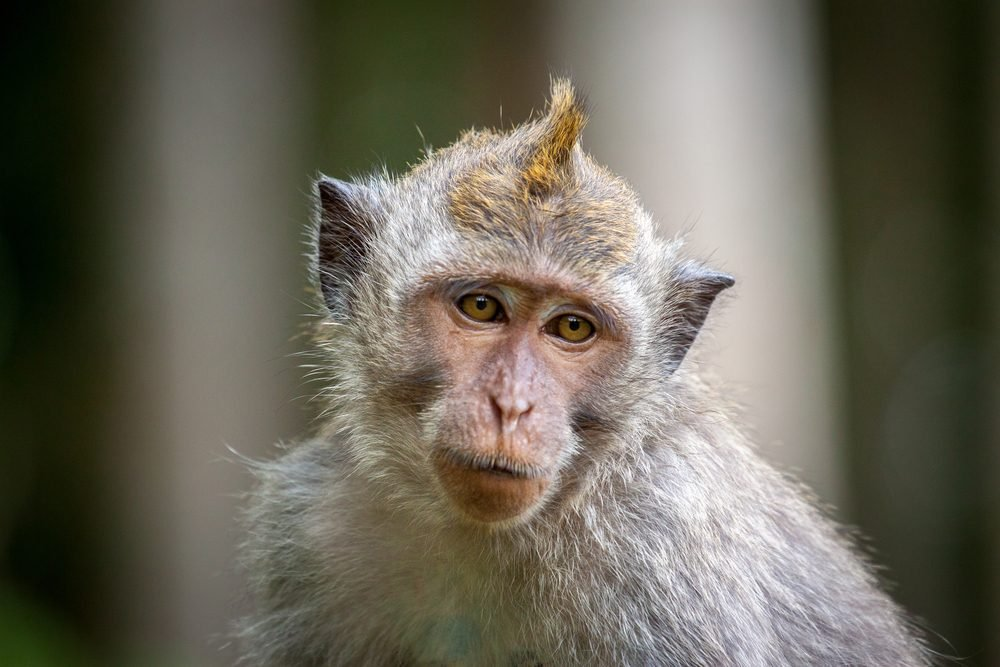 macaque monkey portrait , which name is long tailed, crab-eating or cynomolgus macaque monkey
