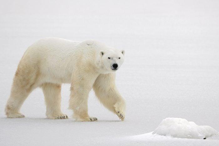 A polar bear going on snow.