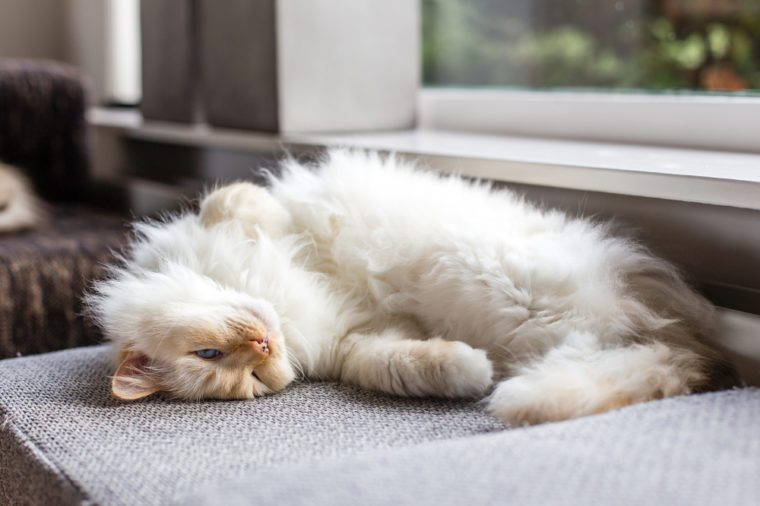 Lazy white ragdoll cat with blue eyes is laying on the couch at the window, with his head upside down