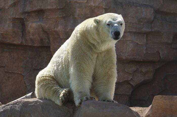 White polar bear (Ursus maritimus)