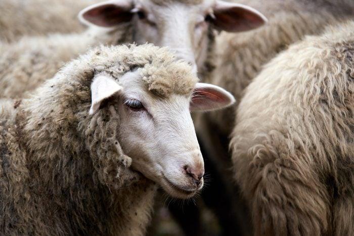 Muzzle sheep. Breeding animals