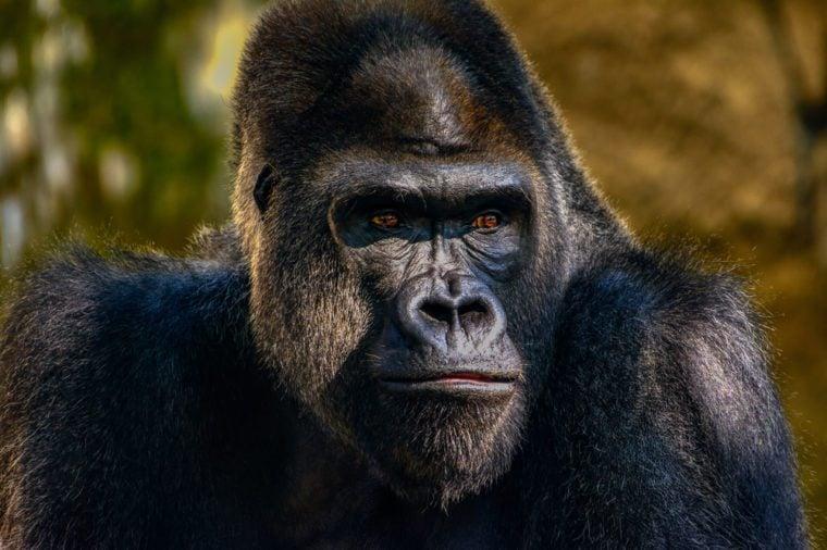 Male Silverback Western Lowland gorilla, (Gorilla gorilla gorilla) close-up portrait with vivid details of face, eyes.
