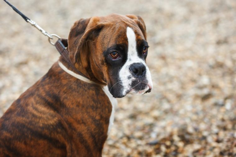 Portrait of boxer puppy dog on the beach