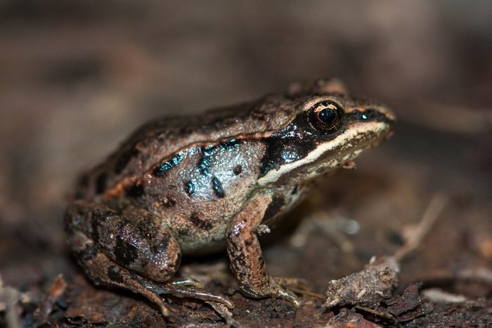 The wood frog (Lithobates sylvaticus or Rana sylvatica) has a broad distribution over North America, extending from the Boreal forest of Canada and Alaska to the southern Appalachians. Portrait macro