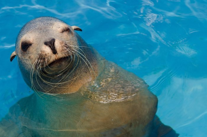 Winking California sea lion with copy space