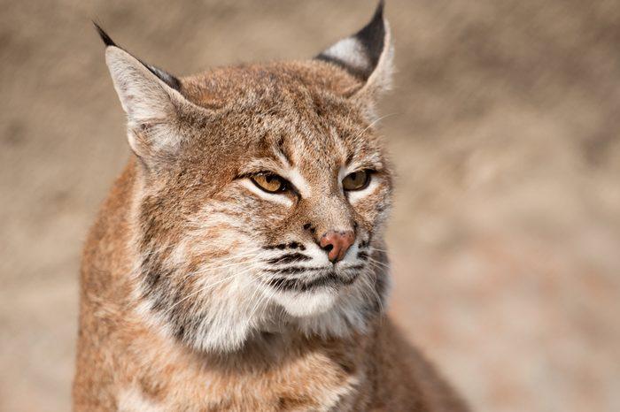 Close-up portrait of a Bobcat