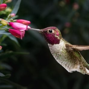 This is a photograph of a male Anna's hummingbird hovering and visiting flowers.