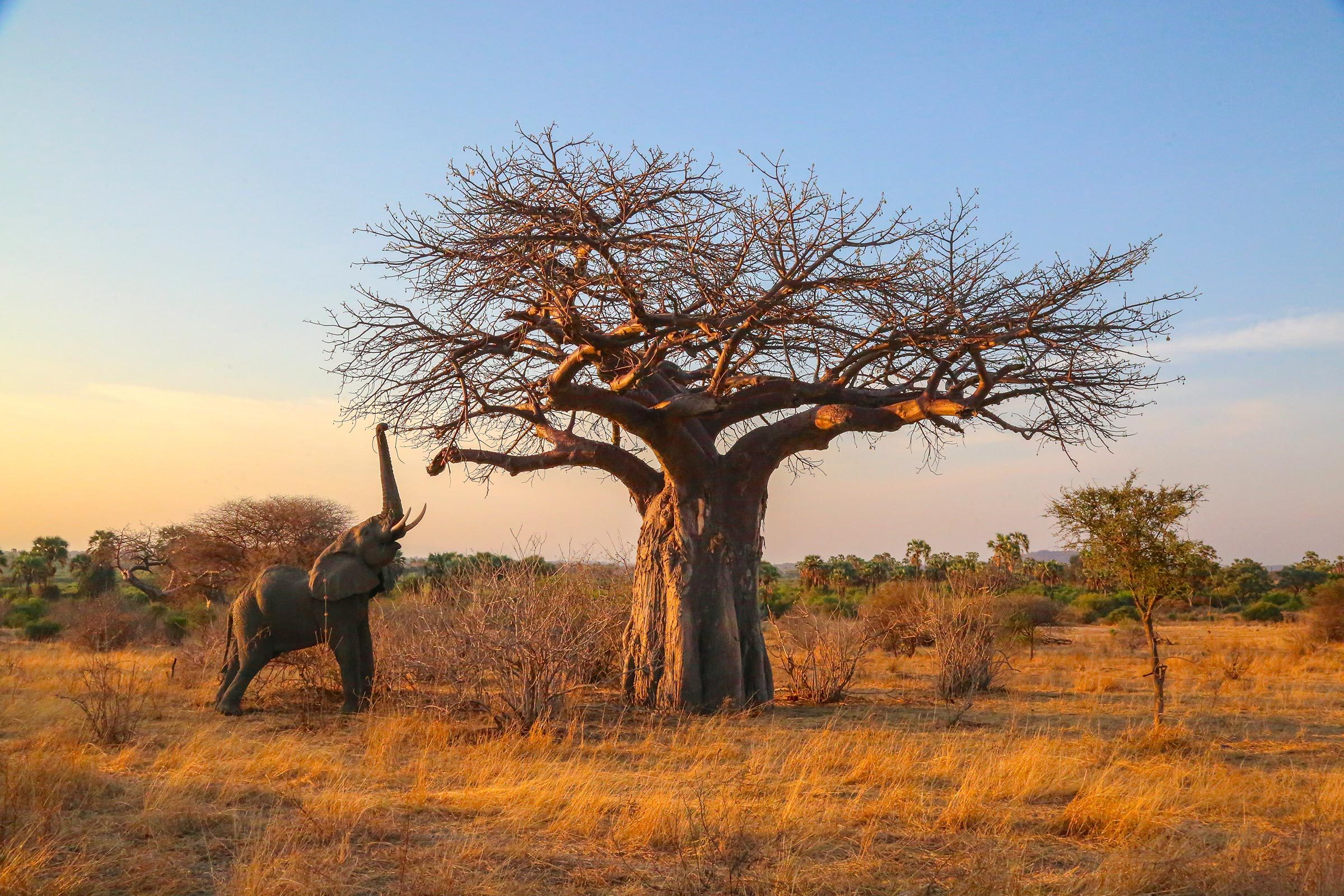 elephant reaching for high branches