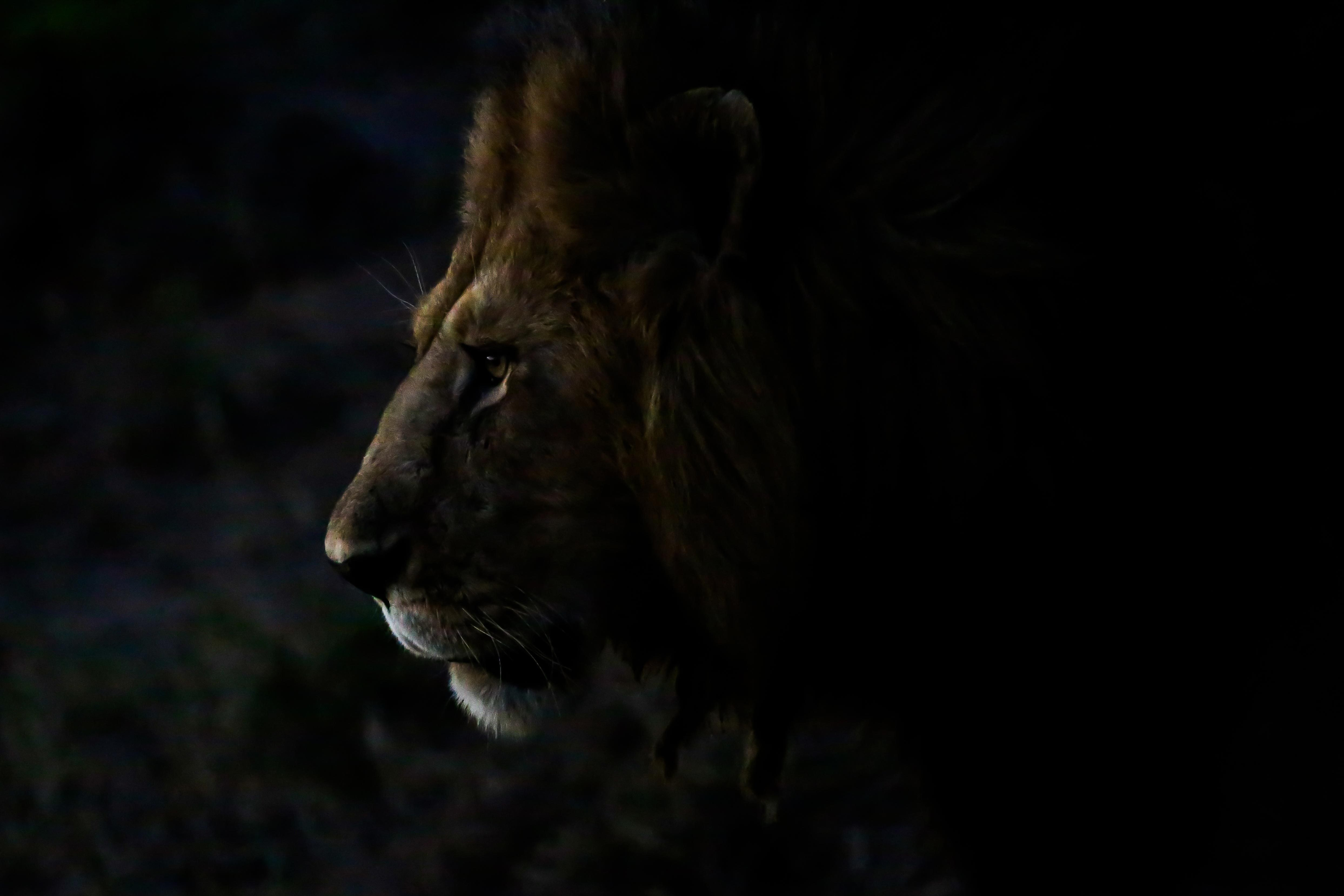 lion in low light