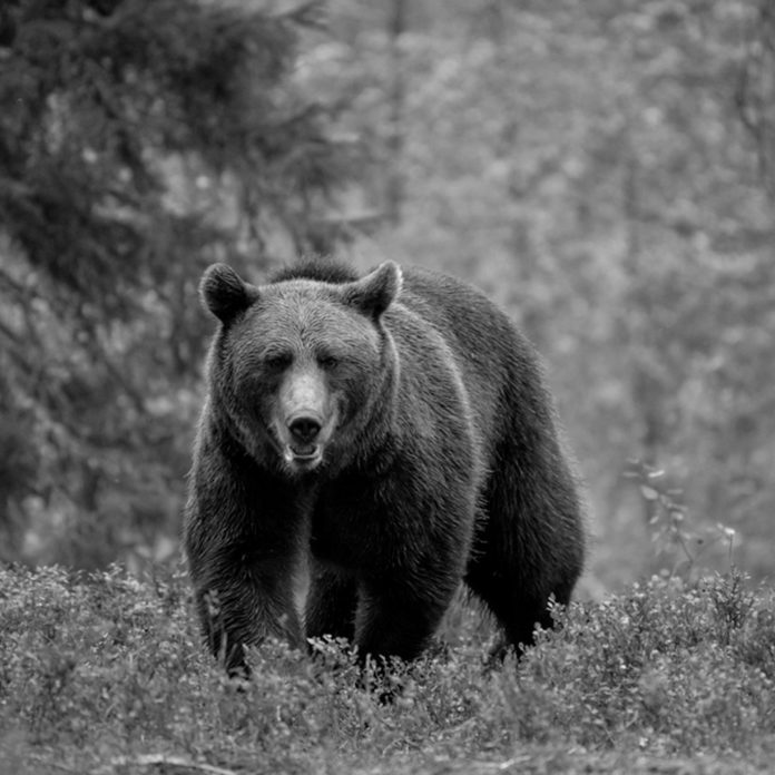 This Man Protected Wild Bears Every Day for 13 Years—Until He Made the Ultimate Sacrifice