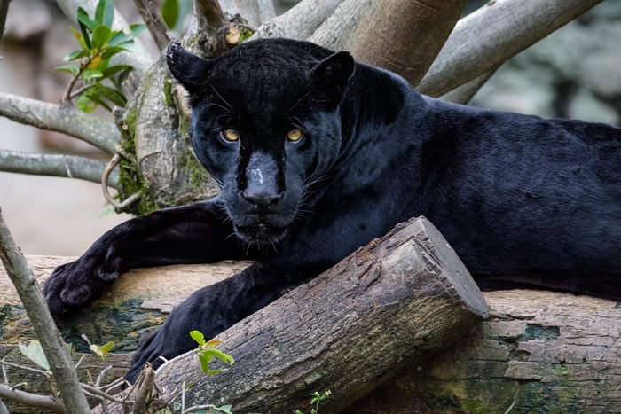 Black panther sitting on a log while looking at the camera