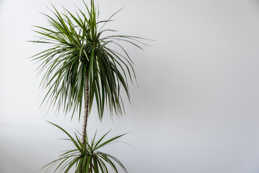 Cornstalk Dracaena on White Wall