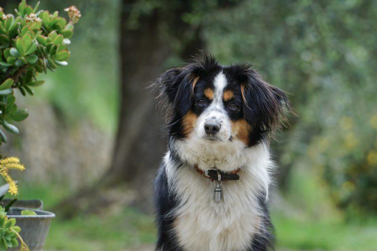 Dog, Miniature Australian Shepherd