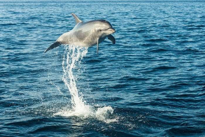Bottlenose dolphin jumping in the air