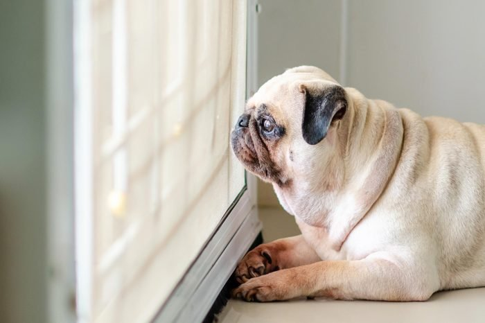 lonely pug dog waiting by the door