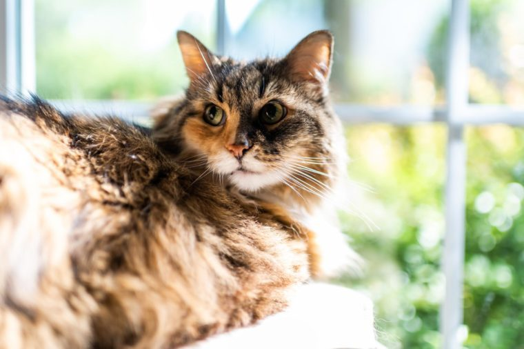 female maine coon calico cat lying on chair indoors of house room window looking back face closeup