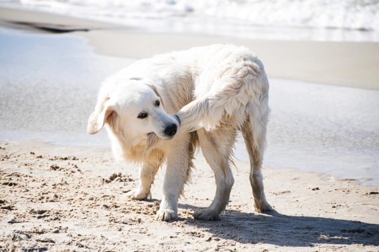 dog biting his tail on the beach