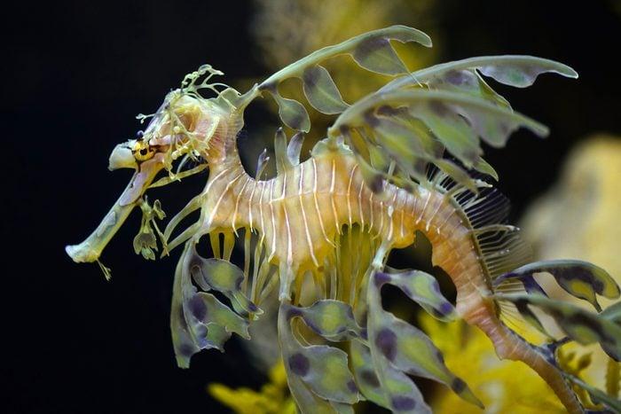 Close up of Leafy Sea Dragon