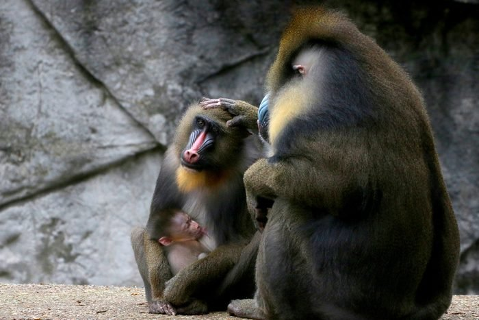 African Mandrill family (Mandrillus sphinx), father caressing mother, baby suckling breast.