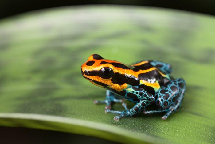 poison dart frog Ranitomeya ventrimaculata small tropical amphibian kept in rain forest terrarium