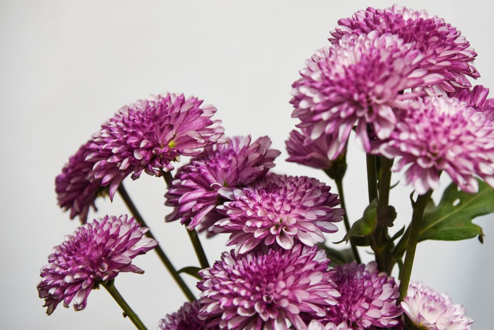 Purple Florist's Daisy. Chrysanthemum Flower. Chrysanthemum.