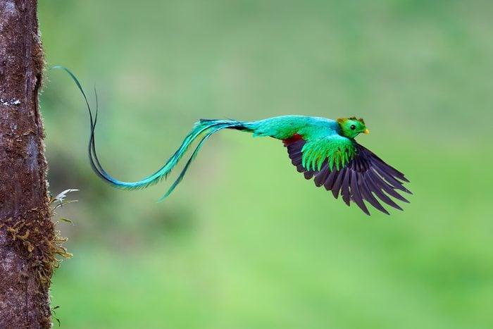 Resplendent Quetzal (Pharomachrus mocinno) male leaving nest after feeding chicks
