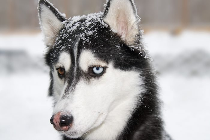 close up of Siberian Husky in the snow