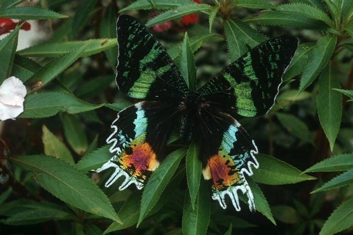 Sunset moth (Urania riphaeus) on leaves in Madagascar