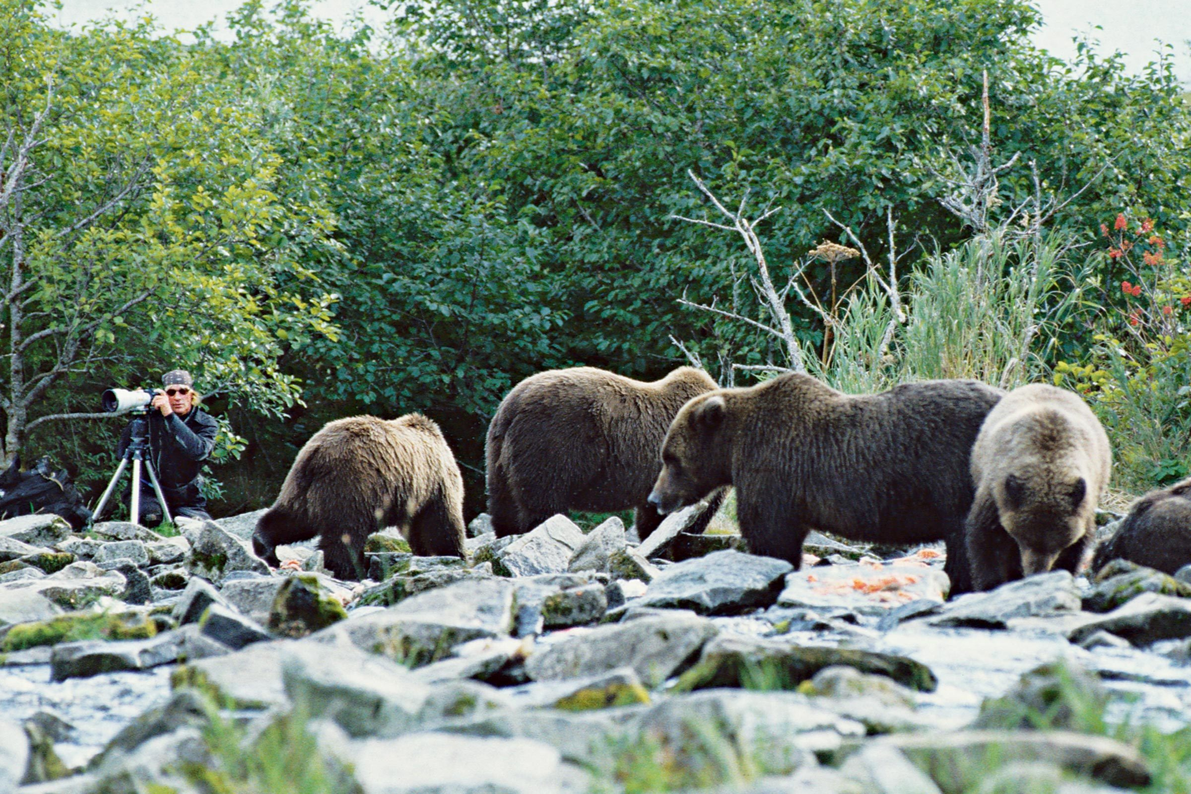Treadwell photographing near group of bears