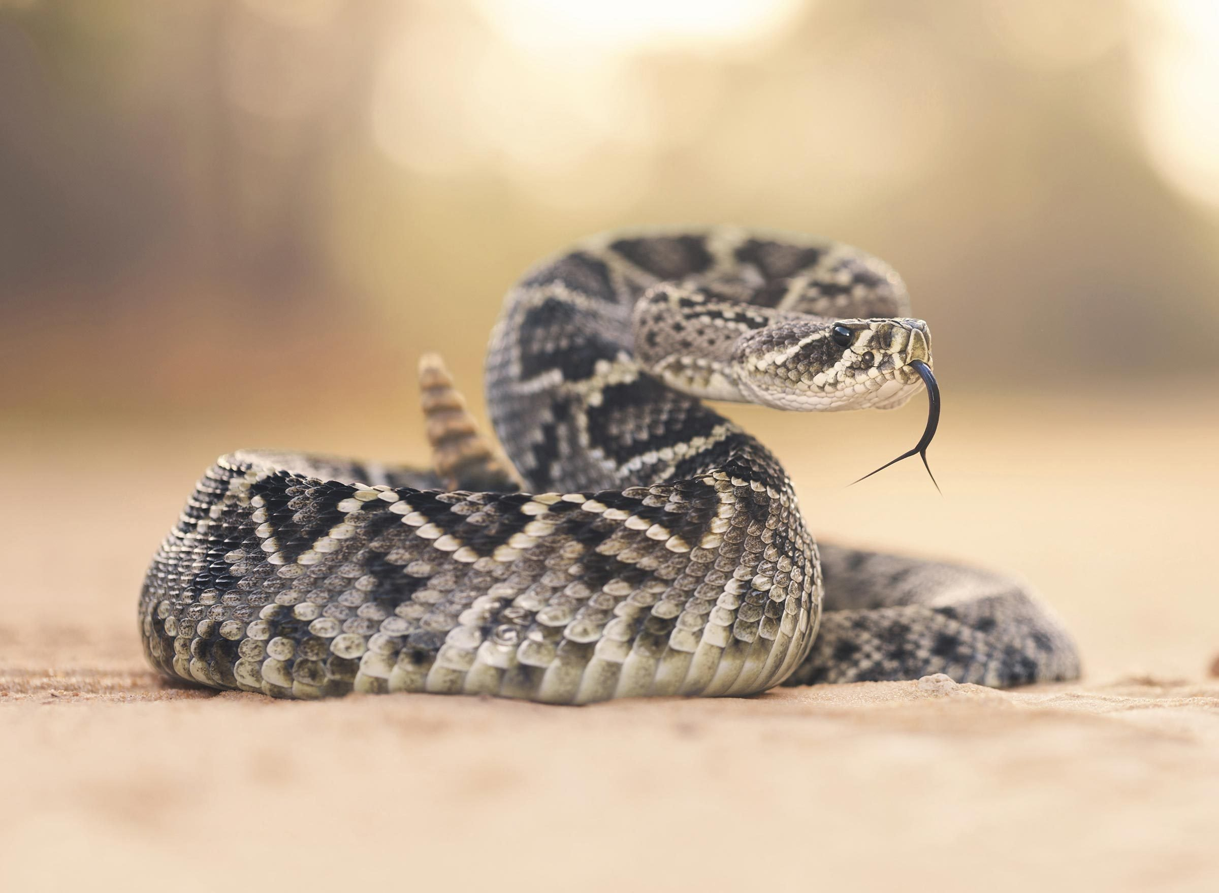 How I Survived a Rattlesnake Bite—with No Way of Getting to a