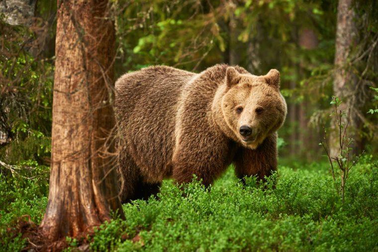 Brown bear walking free in the finnish taiga