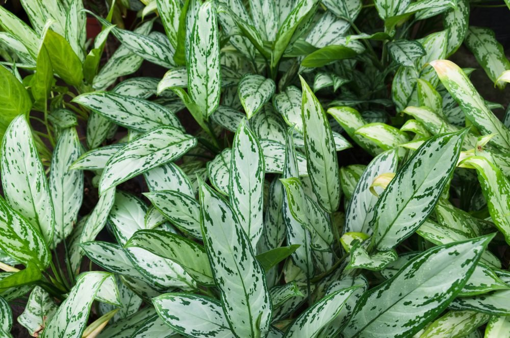 Chinese evergreens (Aglaonema cv. Queen)