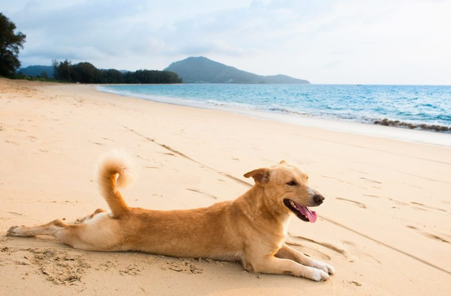 Dog relaxing on sand tropical beach near the blue
