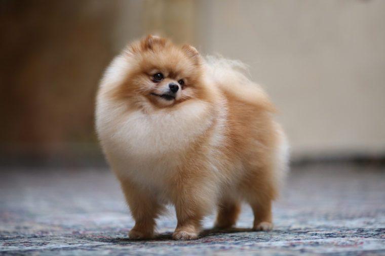 Dog show champion Pomeranian portrait dog